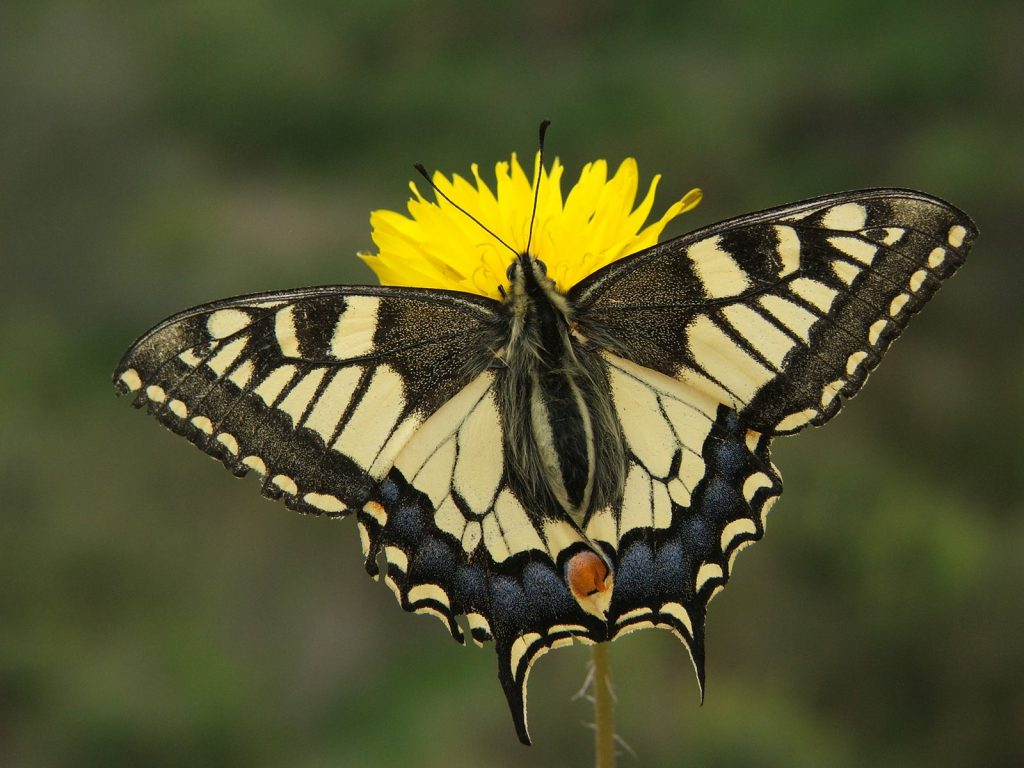 Papilio machaon_portada