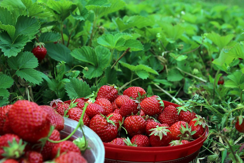 strawberries-1467902_1280